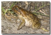 cane-toad-lle-524-copy