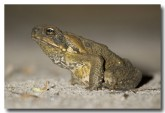 cane-toad-lle-526-copy