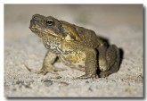 cane-toad-lle-527-copy