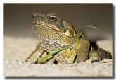 cane-toad-lle-528-copy