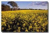 canola-ev-057-copy