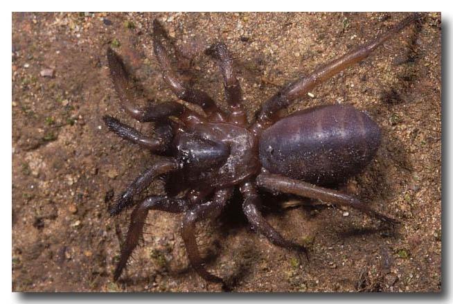 Palisade Spider