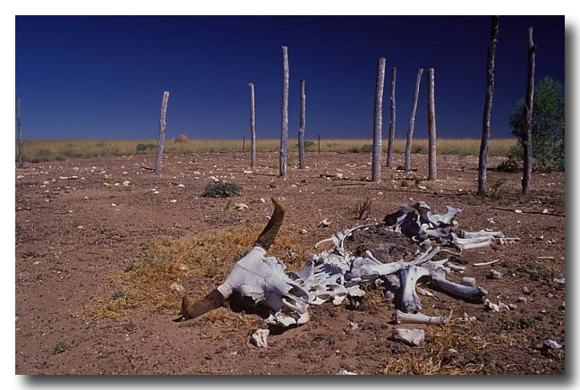 (CB-085) dead cattle in time of drought