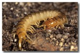 centepede-ly-606-copy