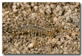 centipede-long-legged-moore-river-llh-068-web-copy
