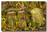 cephalotus-folicularis-albany-pitcher-plant-abd-779-web-copy