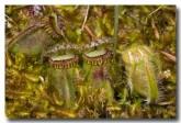 cephalotus-folicularis-albany-pitcher-plant-abd-780-web-copy