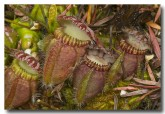 cephalotus-folicularis-albany-pitcher-plant-abd-784-web-copy
