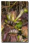 cephalotus-folicularis-albany-pitcher-plant-abd-785-web-copy