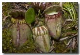 cephalotus-folicularis-albany-pitcher-plant-abd-786-web-copy