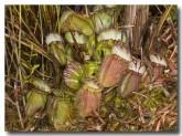 cephalotus-folicularis-albany-pitcher-plant-llj-447-web-copy