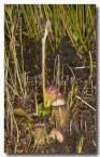 cephalotus-folicularis-albany-pitcher-plant-llj-448-web-copy