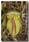 cephalotus-folicularis-albany-pitcher-plant-llj-449-web-copy