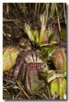cephalotus-folicularis-albany-pitcher-plant-llj-450-web-copy