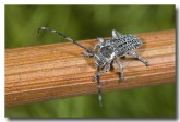 cerambycidae-ancita-marginicollis-hamersley-llj-285-web-copy