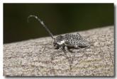 cerambycidae-ancita-marginicollis-llj-620-web-copy