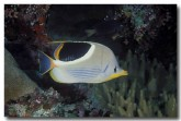 chaetodontidae-saddled-butterflyfish-cm-307-copy