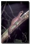 chameleon-gecko-hd-244