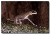 chameleon-gecko-hd-842
