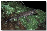 chameleon-gecko-qc-026-copy