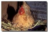 chicken-dw-635-copy