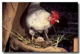 chicken-dw-640-copy