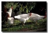 chicken-ev-402-copy