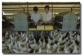 chicken-hh-972-copy