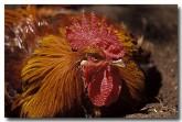 chicken-xh-974-copy
