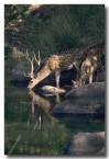 chital-or-spotted-deer-qe-217-web-copy