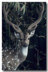 chital-or-spotted-deer-qe-219-web-copy