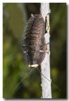 cockroach-walpole-llg-627-web-copy
