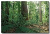 cold-temperate-rainforest-ab-325-copy