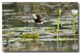 comb-crested-jacana-lle-262