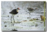 comb-crested-jacana-lle-264