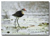 comb-crested-jacana-lle-265