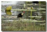 comb-crested-jacana-lle-267