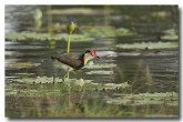comb-crested-jacana-lle-268