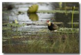 comb-crested-jacana-lle-269