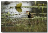 comb-crested-jacana-lle-270