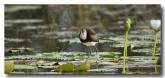 comb-crested-jacana-lle-271