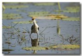 comb-crested-jacana-lle-272