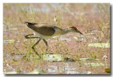 comb-crested-jacana-lle-274
