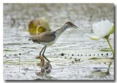 comb-crested-jacana-lle-277
