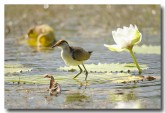 comb-crested-jacana-lle-278