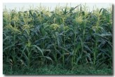 corn-ea-238-copy