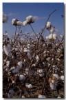 cotton-hh-203-copy