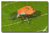 cottony-bug-lle-570-copy