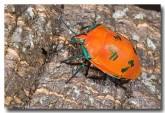 cottony-bug-lle-574-copy