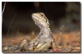 crested-dragon-lg-426-copy